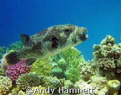 Ready to rumble. Big box fish, Safaga, Egypt.  by Andy Hamnett