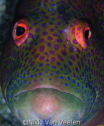 Grouper face taken at Marsa Bareika with E300 and 105mm l... by Nikki Van Veelen