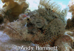 Scorpion fish. Tobia Arba, Red Sea,Egypt. Sony W90. by Andy Hamnett