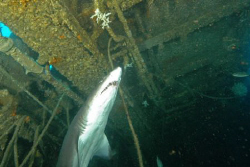 Sand Tiger, inside Aeolus wreck, North Carolina. by David Heidemann