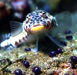 Mug Shot. Dumaguete, Philippines. Goby. Can't give positi... by Leigh Chapman