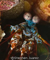 Mantis Shrimp /Lembeh Strait by Stephen Juarez