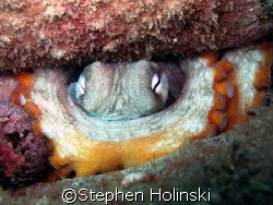 "Octopus watching the camera from his ""hidding"" place. by Stephen Holinski"