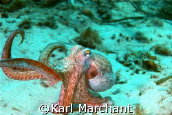 Dancing Octopus by Karl Marchant