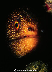 Moray Portrait - Taken in Puerto Rico with a Nikonos RS, ... by Mark Westermeier