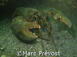 CLAWS! Close-up anyone? Large lobster - North shore, Gasp... by Marc Prévost