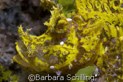 Yellow Rhinopia on the black sand of lembeh Strait. by Barbara Schilling