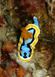 Nudibranch Chromodoris Annae off Pemuteran North West Bali. by Matthew Fyson