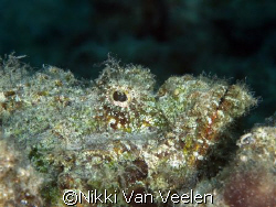 Scorpionfish taken at Sharksbay with E300 and 105mm lens. by Nikki Van Veelen