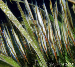 Night dive. Dumaguete house reef. Razorfish in eel grass. by Leigh Chapman
