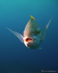 I had fun taking photos of the Yellowtail Snapper swimmin... by Steven Anderson
