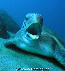 A green sea turtle, yawning. Sea of Cotéz. by Ramón Domínguez