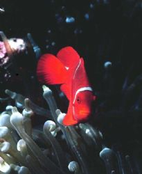 Spine cheek anemonefish; Walindi, PNG - Housed Nikon F, 5... by Rick Tgeler