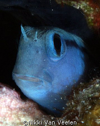 Blenny portrait taken with E300 and 105mm lens. by Nikki Van Veelen