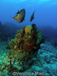Mirrored Angel Fish Cayman Islands, Sunset House Shore Reef by Veronica Main