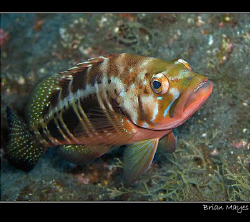 Colourful Blacktail Comber ( a type of Grouper) from Tene... by Brian Mayes