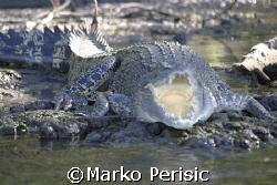 Salt water croc Wyndem Western Australia. by Marko Perisic