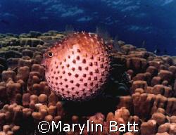 Puffer fish, Nikonos V 28mm lense, fish had not been hara... by Marylin Batt