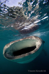 Hungry Whaleshark, La Paz, Baja California by Vincent Kneefel