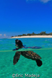 This baby Hawksbill Turtle seemed to look back at the bea... by Eric Madeja