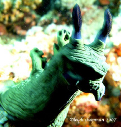 """Shrek"" a/k/a Nembrotha nudibranch. Puerto Galera, Philip... by Leigh Chapman"