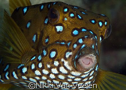 Yellow boxfish (female) taken at Sharksbay with E300 and ... by Nikki Van Veelen