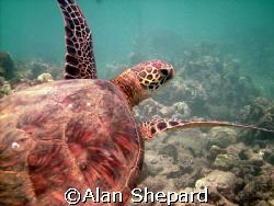 great turtle shot on Oahu in the always wonderful Hanauma... by Alan Shepard