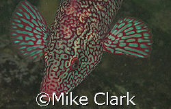 Male Ballan wrasse in breeding colouration. St. Abbs, Sco... by Mike Clark
