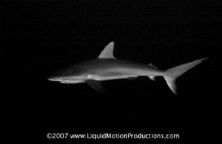 Caribbean Whaler Shark cruises past me during a wall dive by Terry Moore