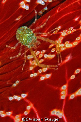 Squat lobster on cushion star by Christian Skauge