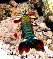 Peacock Mantis Shrimp, Nikonos V  by Marylin Batt