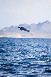Jumping Mobula, La Paz by Vincent Kneefel