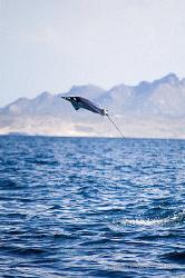 Jumping Mobula, La Paz by Vincent Kneefel