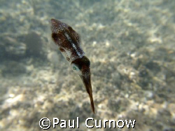 Tiny Squid by Paul Curnow