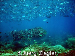 Huge Fish Schools on Coral Reef at Barracuda Point, Sipad... by Juerg Ziegler
