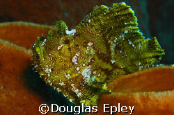 leafy scorpionfish, taken at wakatobi with d70 and 60mm by Douglas Epley