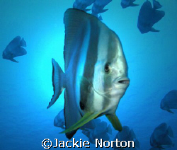 Curious Batfish taken on Zafari by Jackie Norton