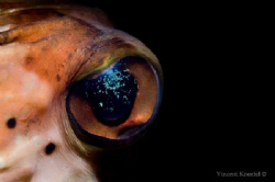 Pufferfish Eye  by Vincent Kneefel