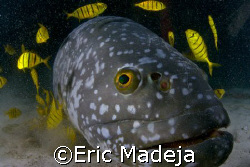 This grouper living in an artificial reef off Mabul Islan... by Eric Madeja
