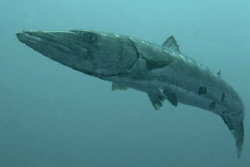 Barracuda, North Carolina.  D70, 12-24 mm lens. by David Heidemann
