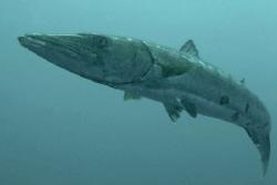 Barracuda, North Carolina.  D70, 12-24 mm lens. by David Heidemann