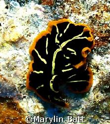 Beautiful flat worm, Nikonos V 1:1 macro extension tube by Marylin Batt