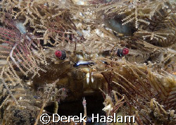 Velvet swimming crab. Menai strait's. D200, 60mm. by Derek Haslam