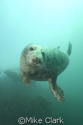 Friendly Grey Seal, Farne Islands, England by Mike Clark