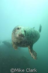 Friendly Grey Seal, Farne Islands, England by Mike Clark