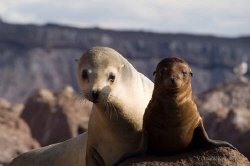 Mother and baby Sea Lion by Vincent Kneefel
