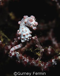 Pygmy seahorse taken somewhere in Anilao, Batangas. by Gurney Fermin