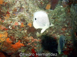 Foureye Butterflyfish Humacao, Puerto Rico by Pedro Hernandez