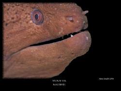 giant moray by Stewart Smith