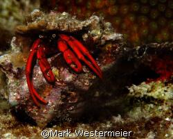 Peeping Peepers - Image taken in Bonaire with a Nikon D10... by Mark Westermeier